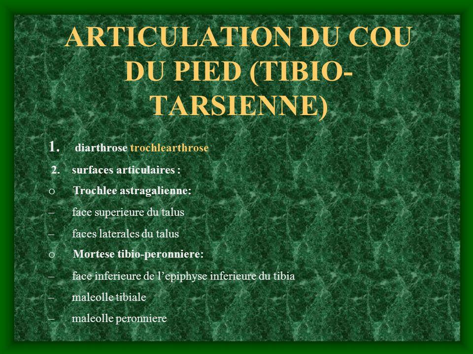 ARTICULATION DU COU DU PIED (TIBIO-TARSIENNE)