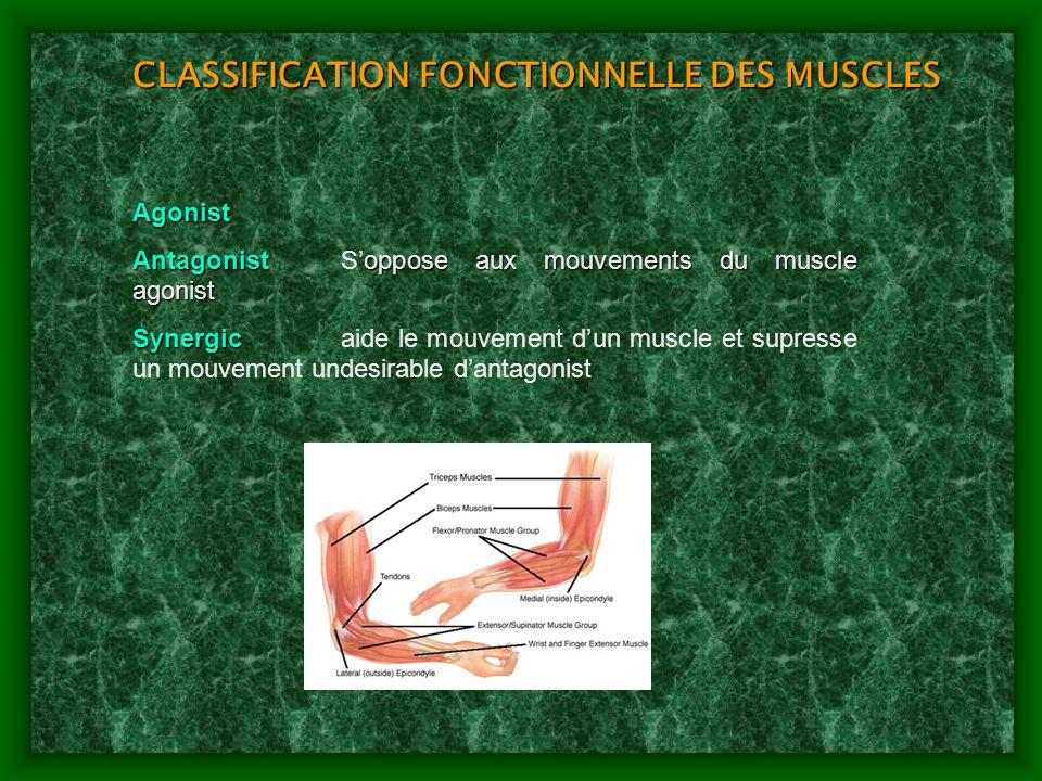 CLASSIFICATION FONCTIONNELLE DES MUSCLES
