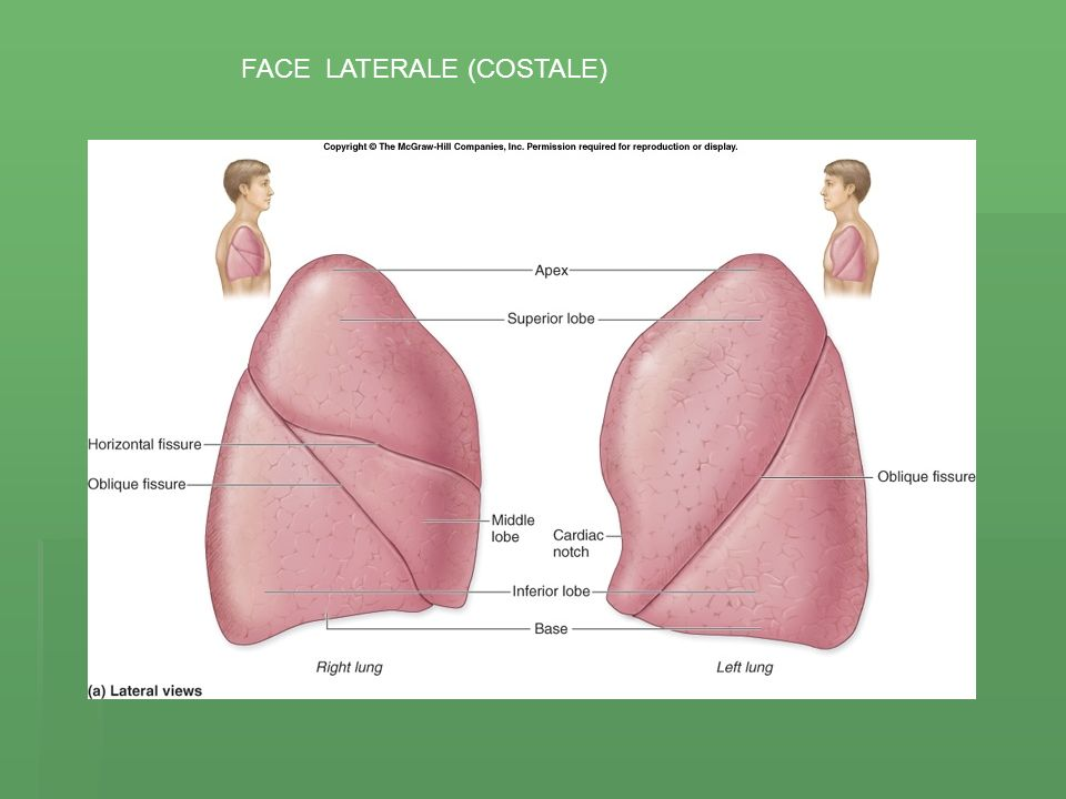 FACE LATERALE (COSTALE)