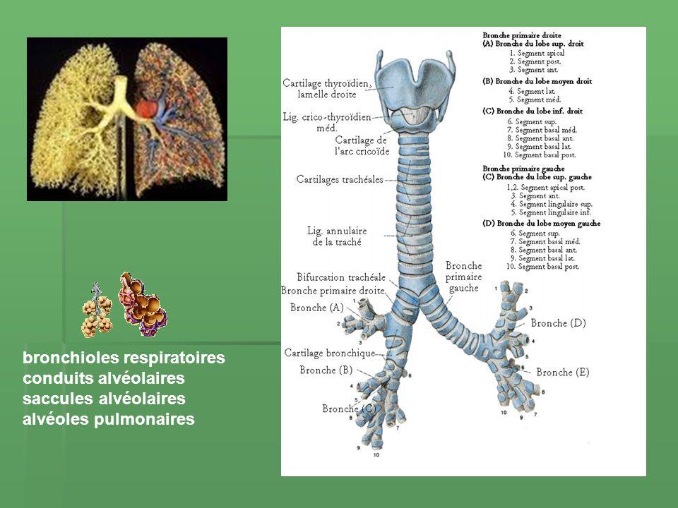 bronchioles respiratoires