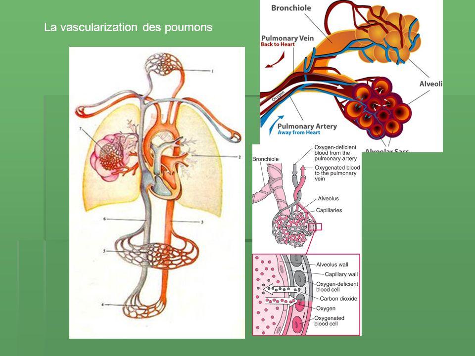 La vascularization des poumons