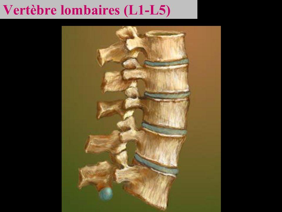 Vertèbre lombaires (L1-L5)