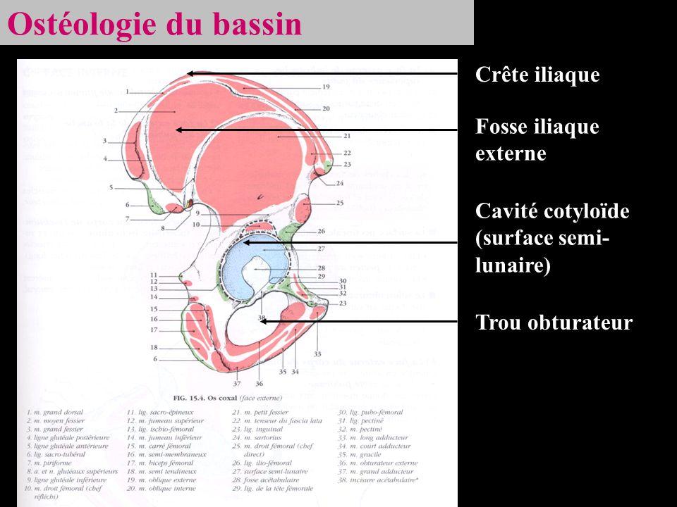Ostéologie du bassin Crête iliaque Fosse iliaque externe