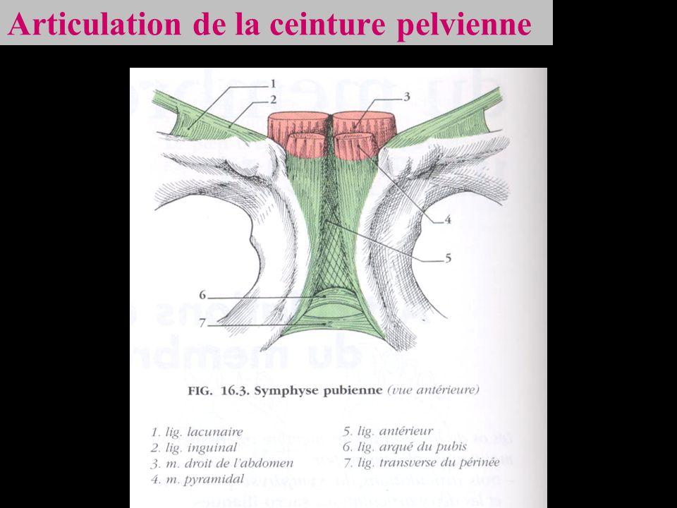 Articulation de la ceinture pelvienne