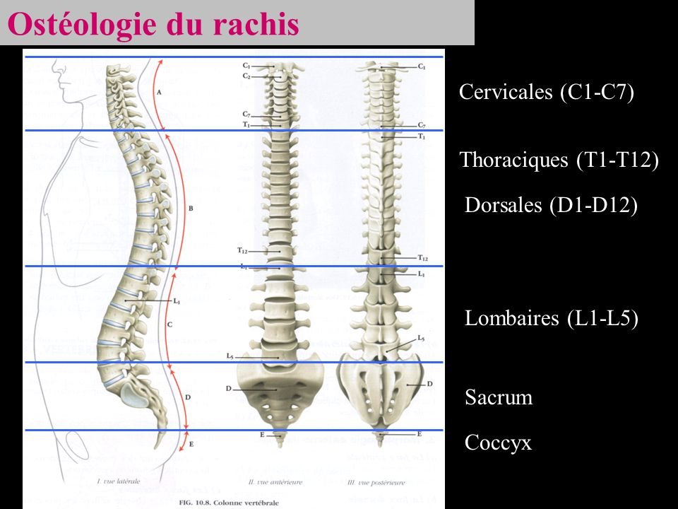 Ostéologie du rachis Cervicales (C1-C7) Thoraciques (T1-T12)