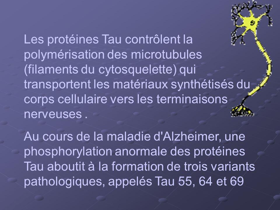 Les protéines Tau contrôlent la polymérisation des microtubules (filaments du cytosquelette) qui transportent les matériaux synthétisés du corps cellulaire vers les terminaisons nerveuses .