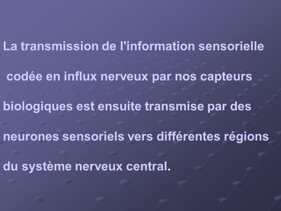 La transmission de l information sensorielle