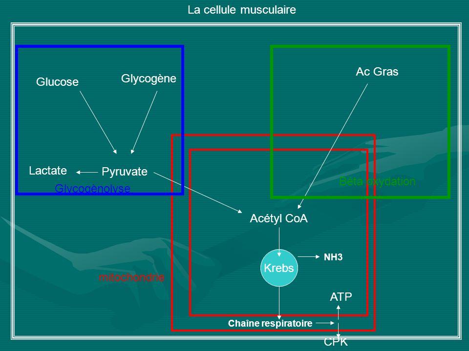 La cellule musculaire Ac Gras Glycogène Glucose Lactate Pyruvate