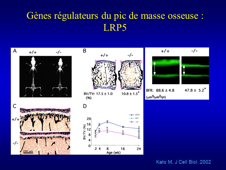 Gènes régulateurs du pic de masse osseuse : LRP5