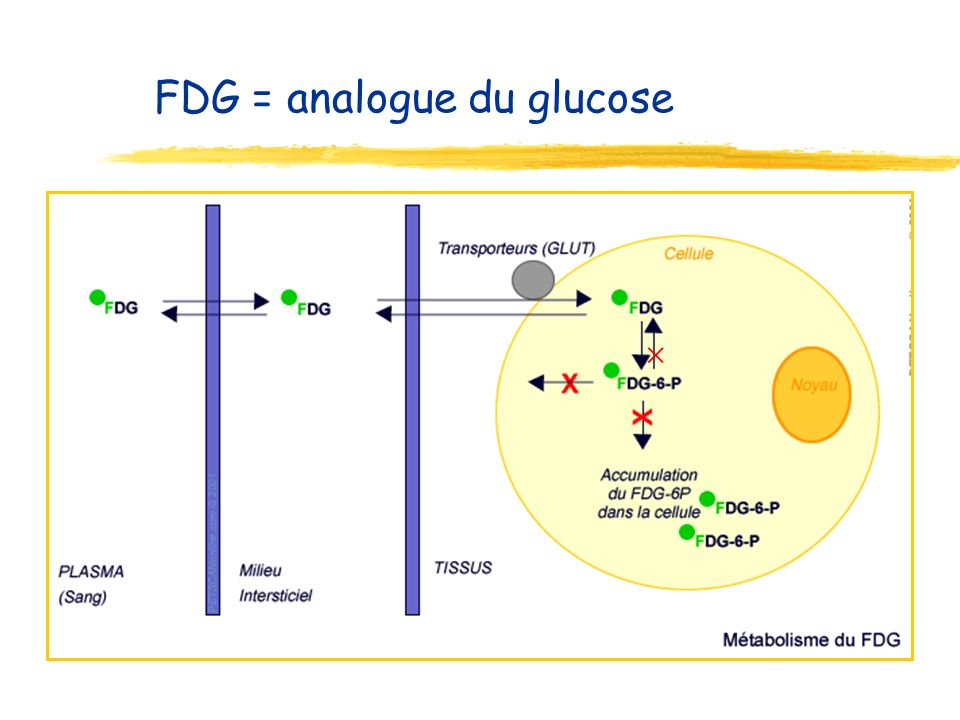 FDG = analogue du glucose