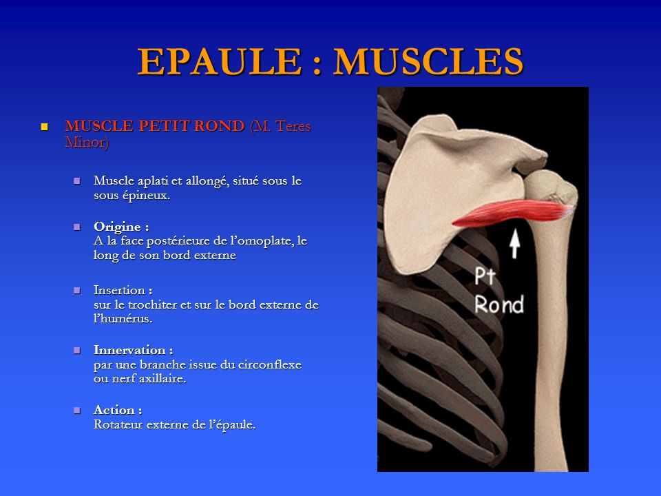 EPAULE : MUSCLES MUSCLE PETIT ROND (M. Teres Minor)