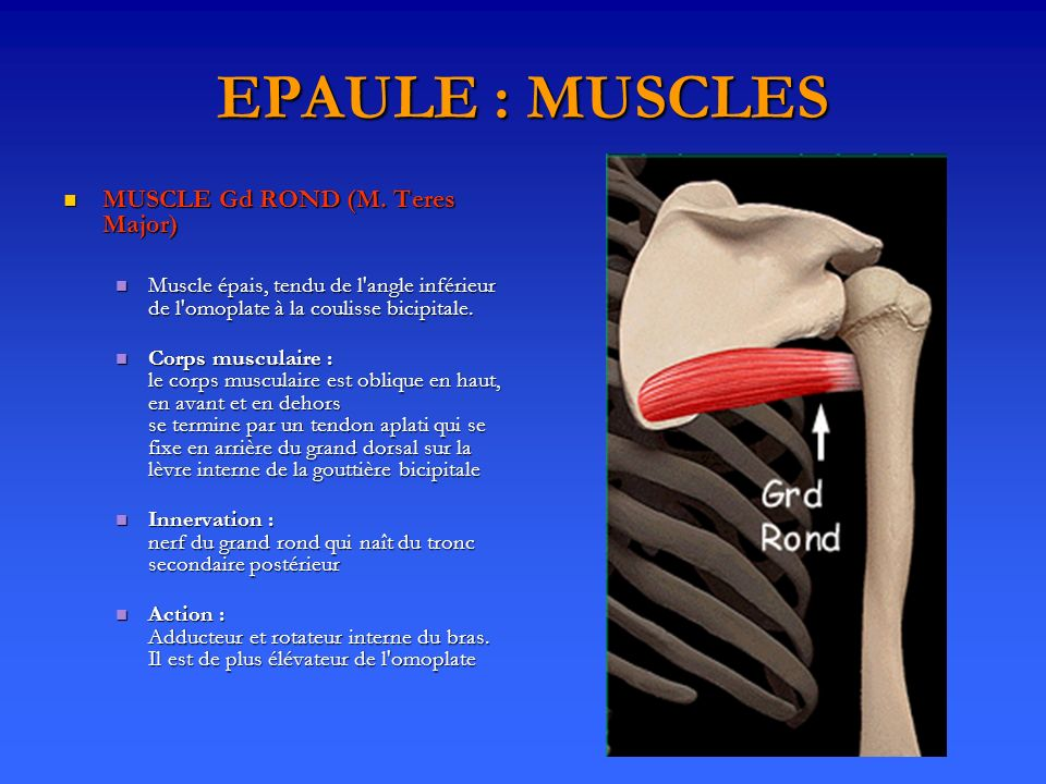 EPAULE : MUSCLES MUSCLE Gd ROND (M. Teres Major)