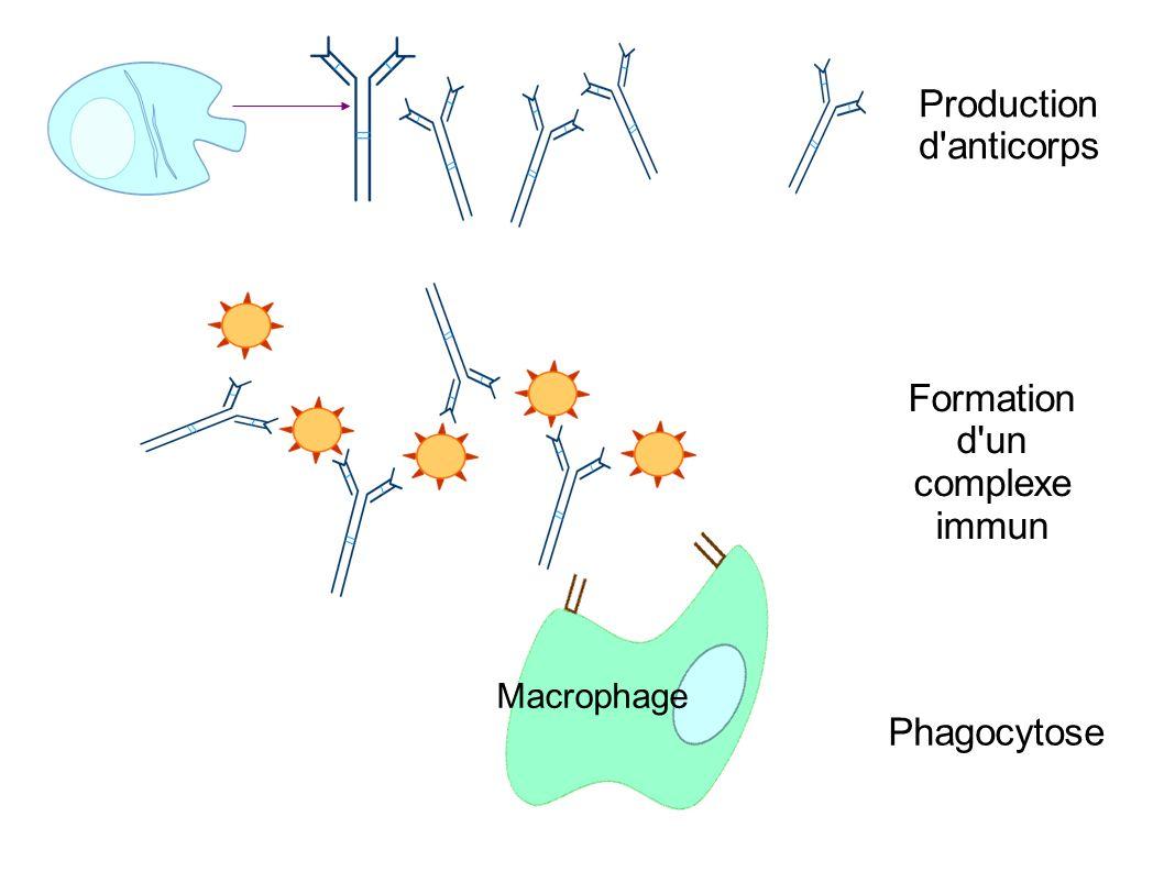 Formation d un complexe immun