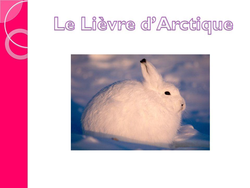Le Lièvre d'Arctique