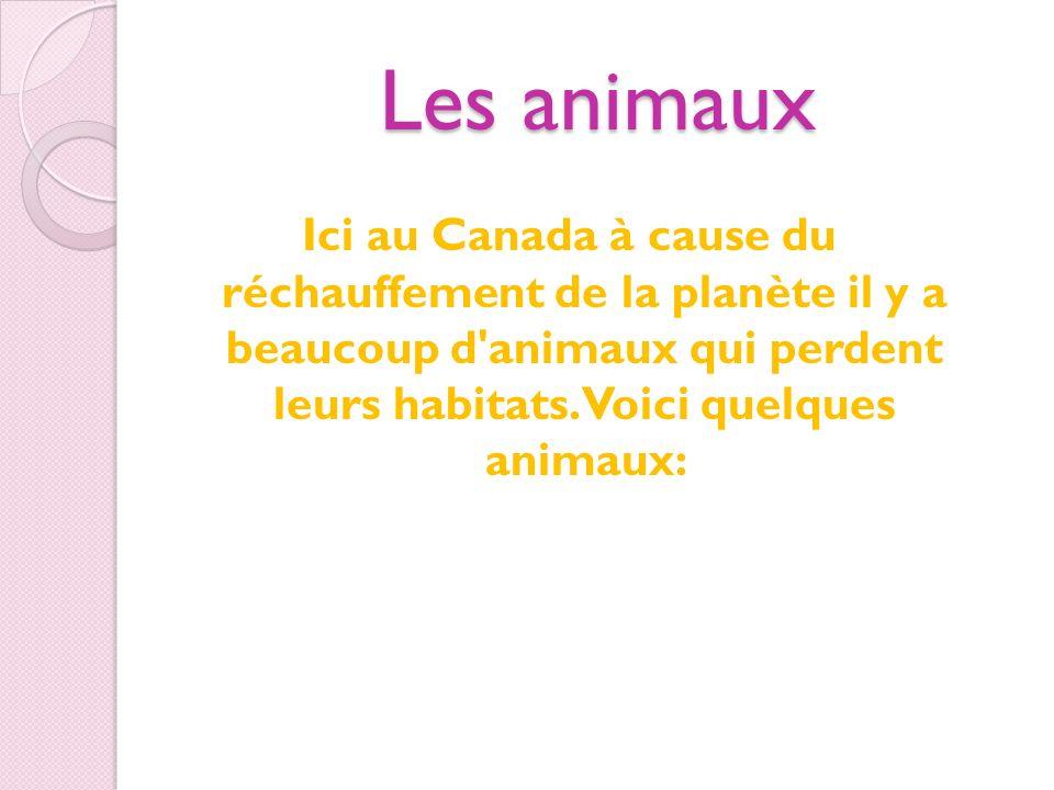Les animauxIci au Canada à cause du réchauffement de la planète il y a beaucoup d animaux qui perdent leurs habitats.