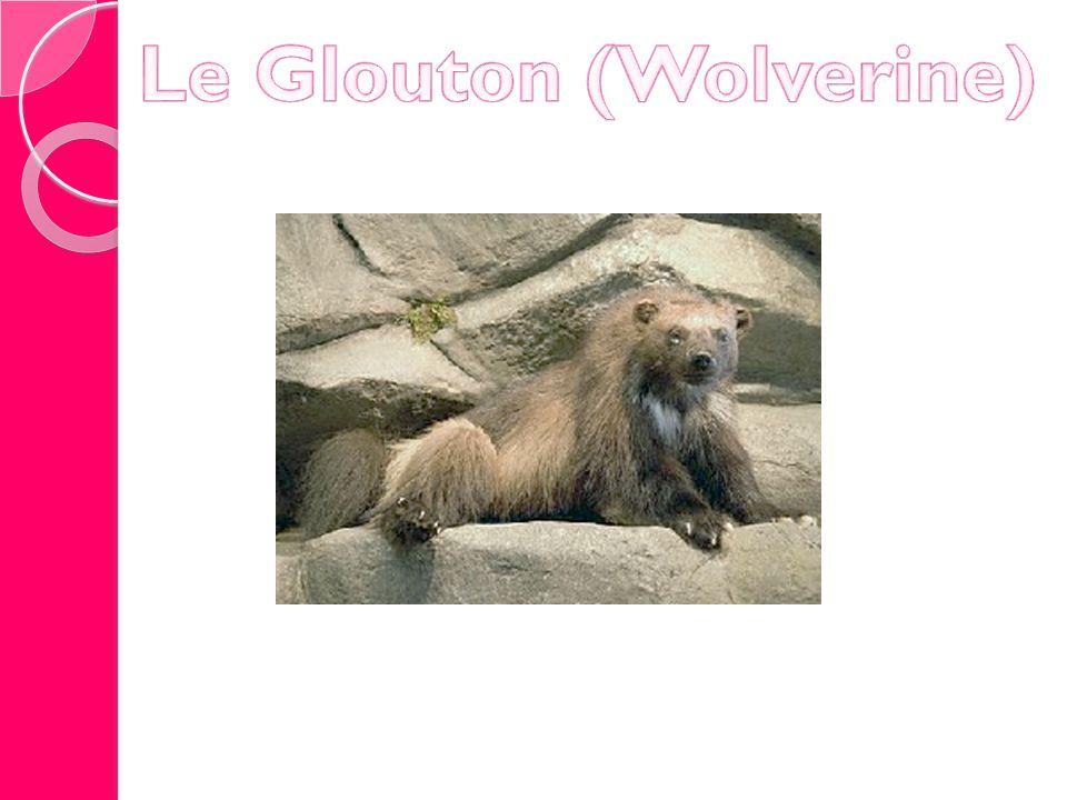 Le Glouton (Wolverine)