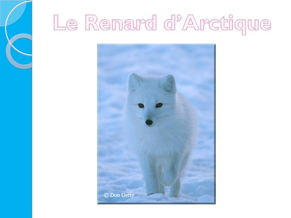 Le Renard d'Arctique
