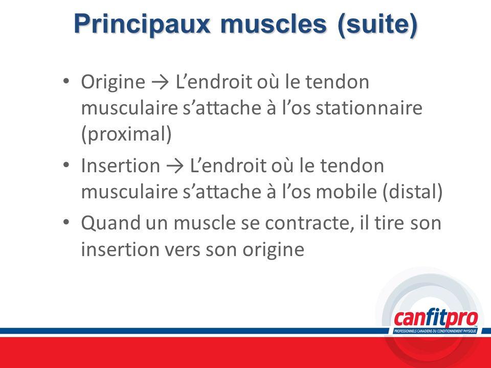 Principaux muscles (suite)