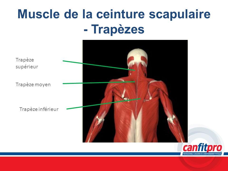 Muscle de la ceinture scapulaire - Trapèzes