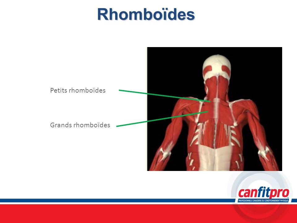 Rhomboïdes Petits rhomboïdes Grands rhomboïdes Chapitre 6