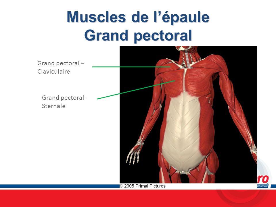 Muscles de l'épaule Grand pectoral
