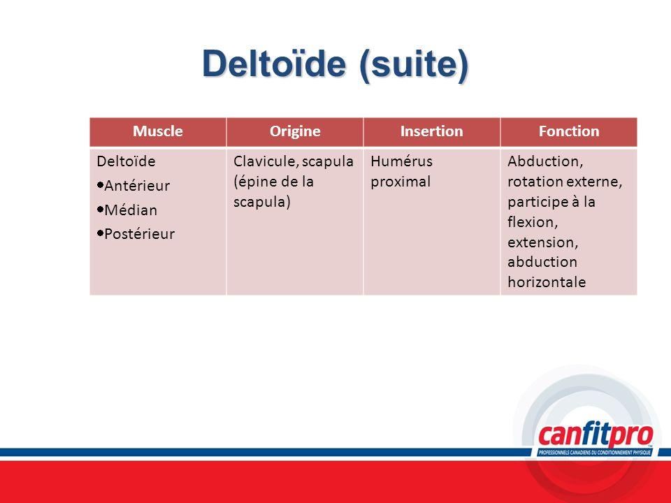 Deltoïde (suite) Muscle Origine Insertion Fonction Deltoïde Antérieur