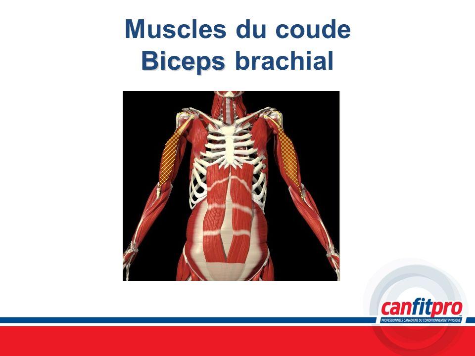 Muscles du coude Biceps brachial