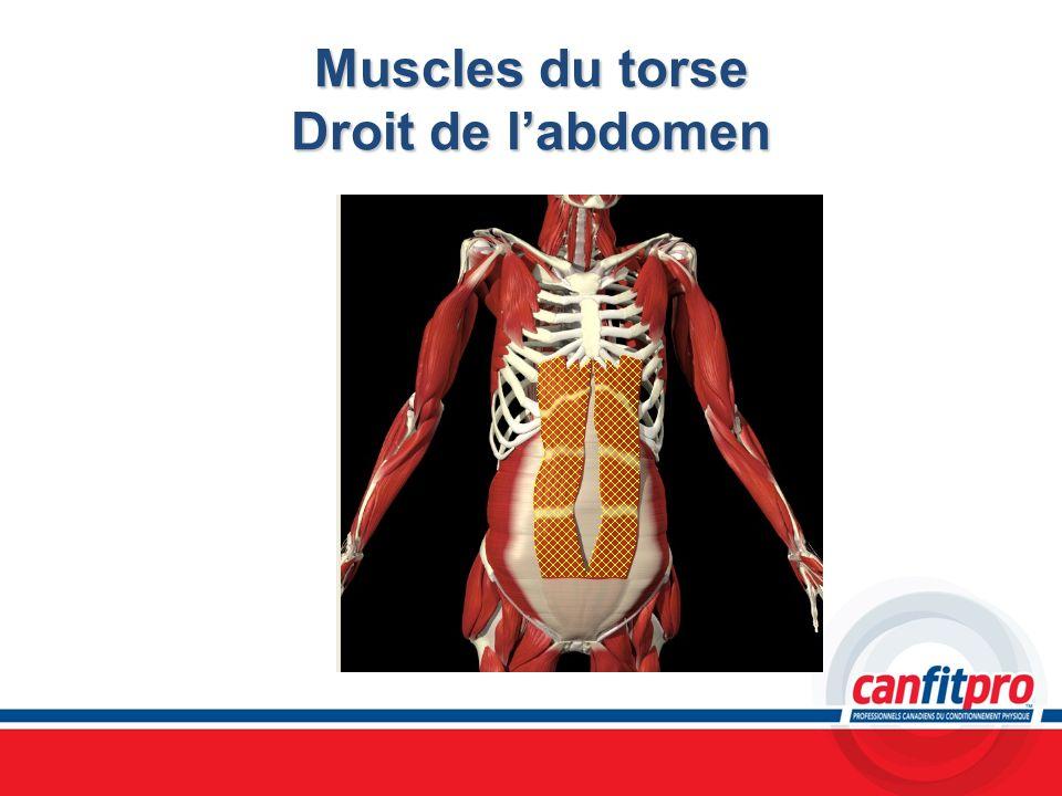 Muscles du torse Droit de l'abdomen