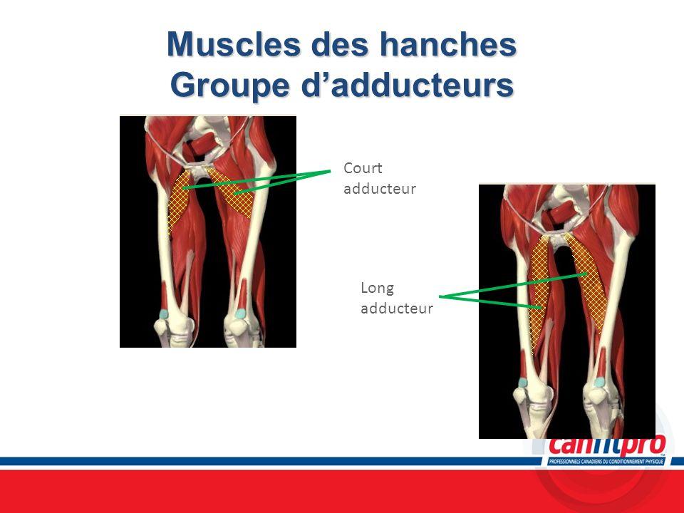 Muscles des hanches Groupe d'adducteurs