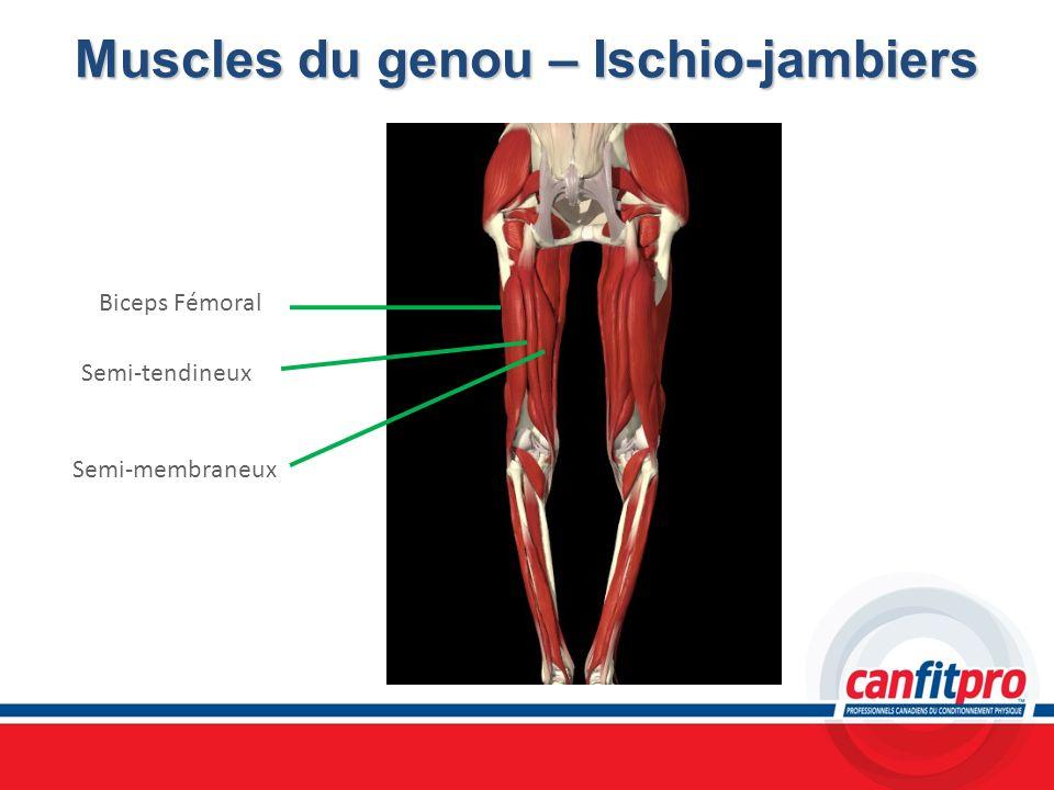 Muscles du genou – Ischio-jambiers