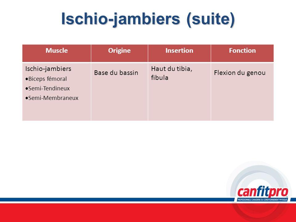 Ischio-jambiers (suite)