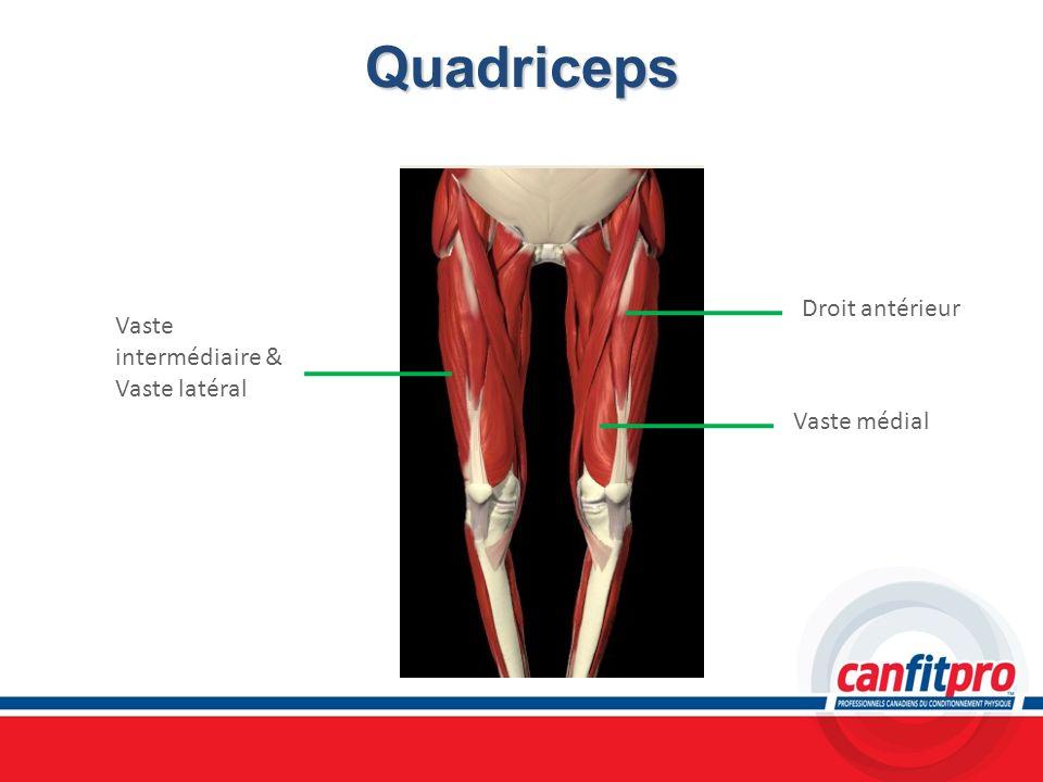 Quadriceps Droit antérieur Vaste intermédiaire & Vaste latéral
