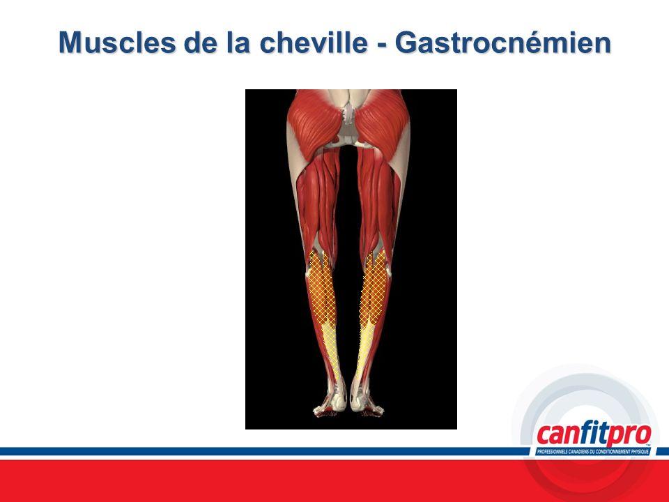 Muscles de la cheville - Gastrocnémien