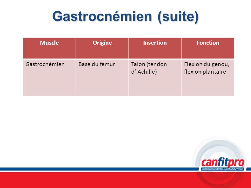 Gastrocnémien (suite)