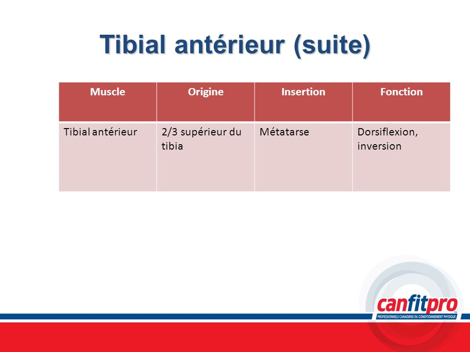 Tibial antérieur (suite)