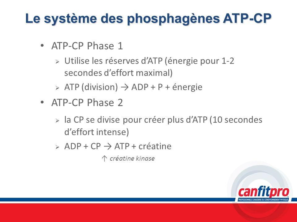 Le système des phosphagènes ATP-CP