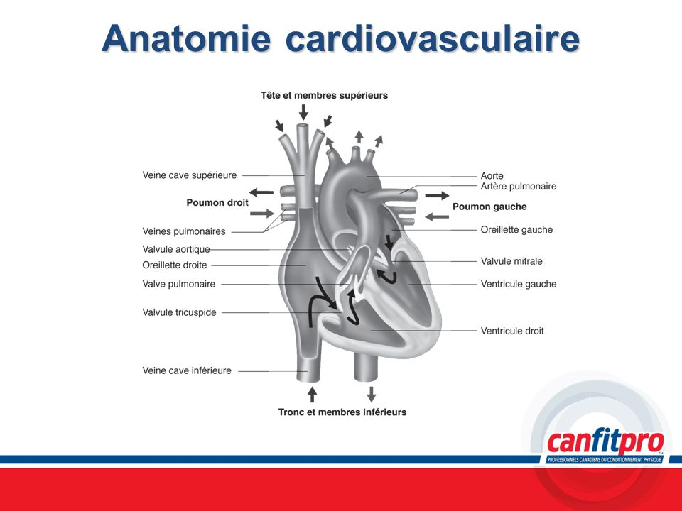 Anatomie cardiovasculaire