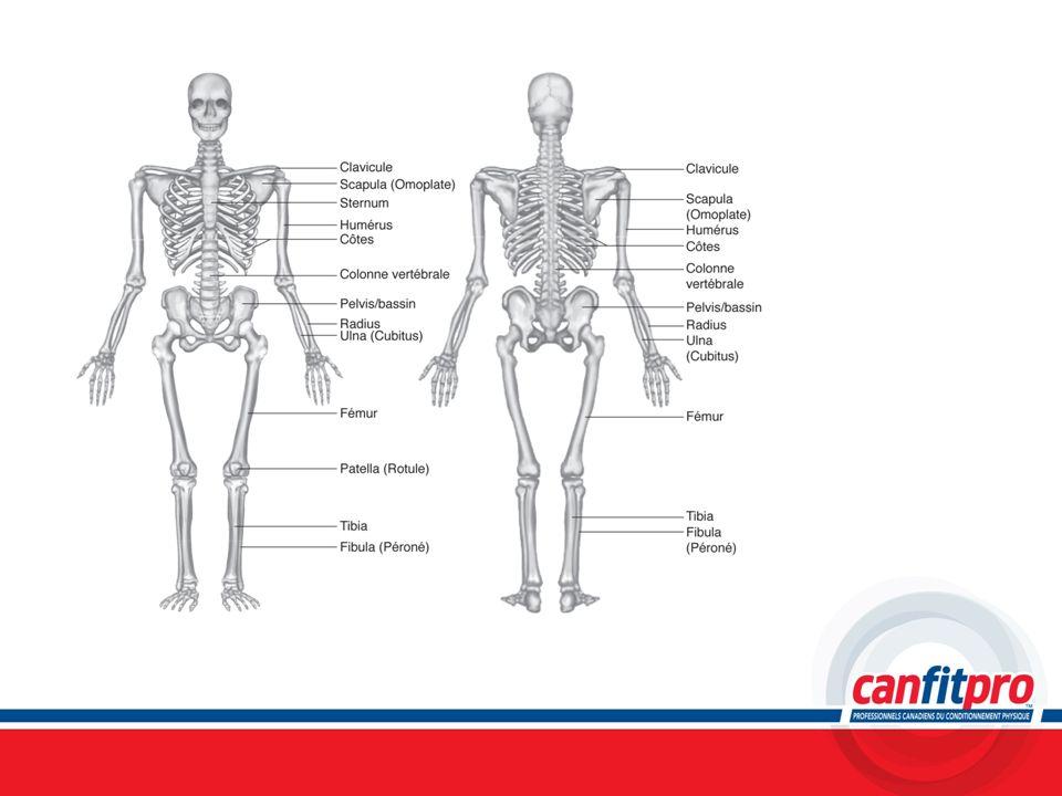 Chapitre 5Titre: Anatomie squelettique et concepts de flexibilité. Sujet: Aperçu du système squelettique (Diapositive #4)