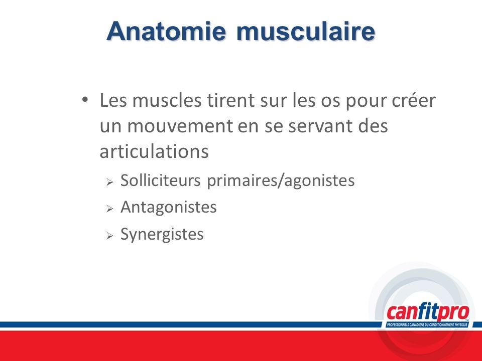 Anatomie musculaire Les muscles tirent sur les os pour créer un mouvement en se servant des articulations.