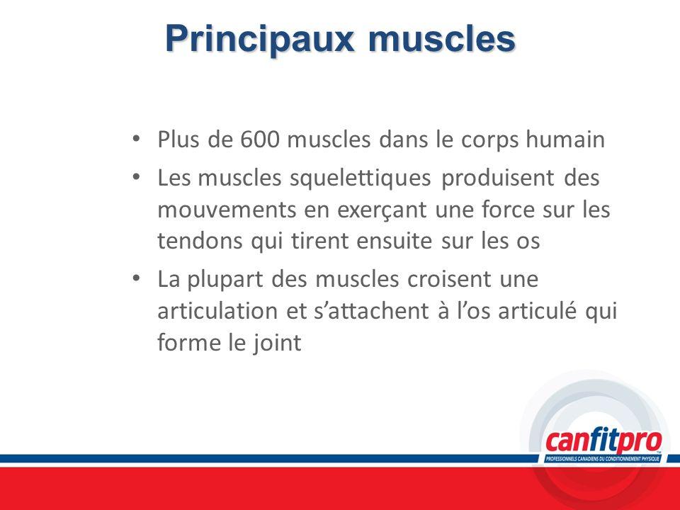 Principaux muscles Plus de 600 muscles dans le corps humain