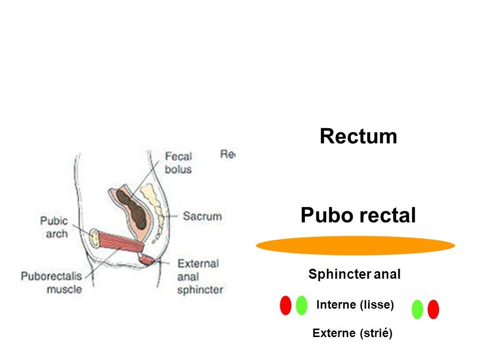 Rectum Pubo rectal Sphincter anal Interne (lisse) Externe (strié)