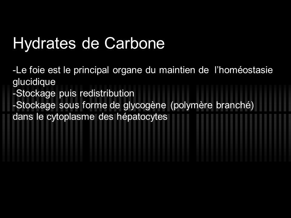 Hydrates de CarboneLe foie est le principal organe du maintien de l'homéostasie glucidique. Stockage puis redistribution.