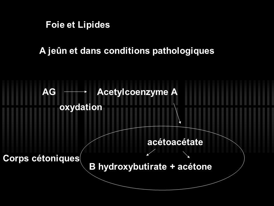 Foie et Lipides A jeûn et dans conditions pathologiques. AG Acetylcoenzyme A. oxydation. Corps cétoniques.