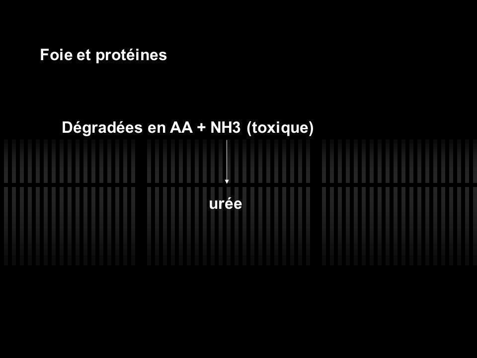 Foie et protéines Dégradées en AA + NH3 (toxique) urée