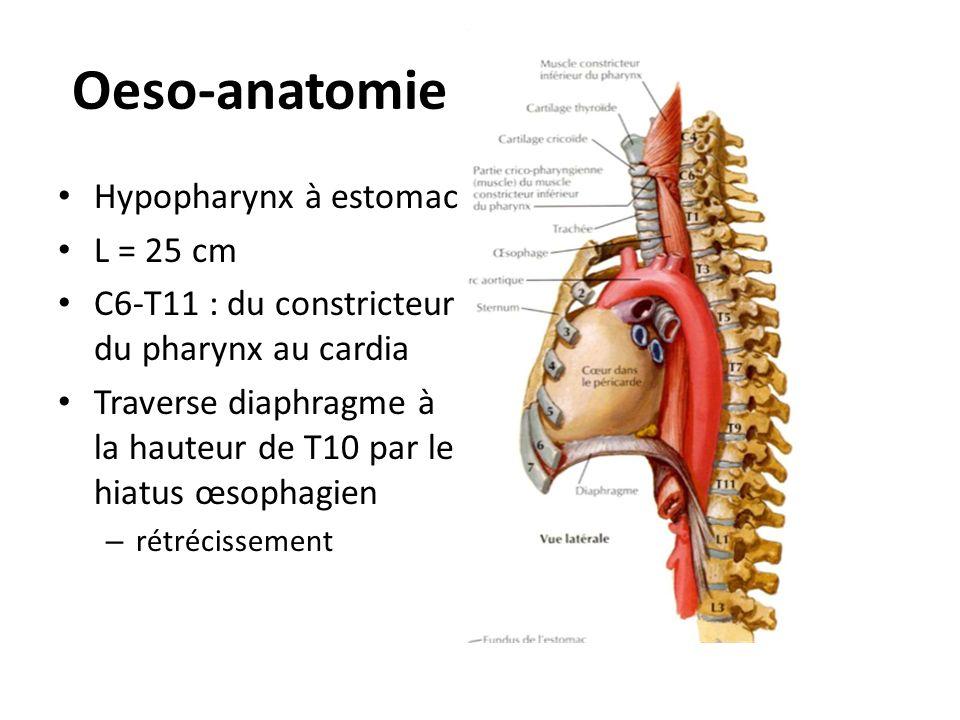 Oeso-anatomie Hypopharynx à estomac L = 25 cm