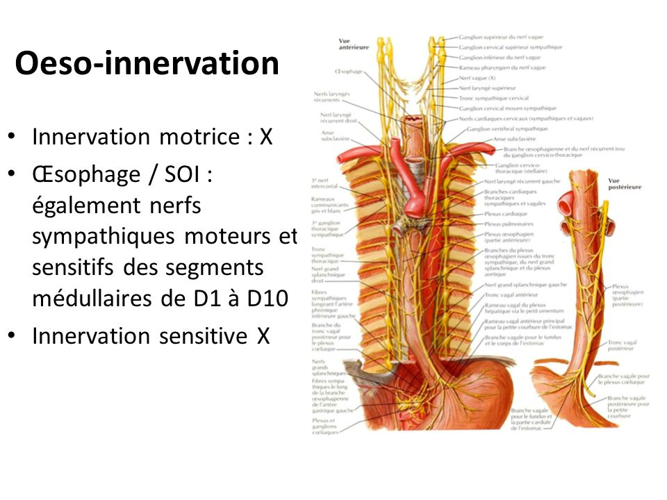 Oeso-innervation Innervation motrice : X