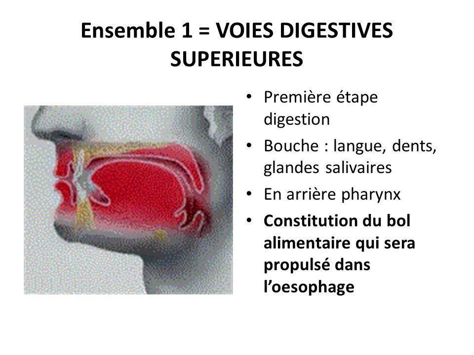 Ensemble 1 = VOIES DIGESTIVES SUPERIEURES