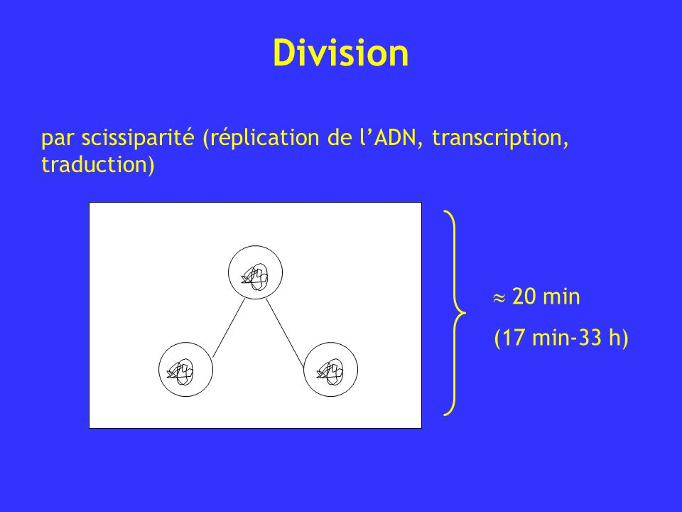 Division par scissiparité (réplication de l'ADN, transcription, traduction)  20 min (17 min-33 h)