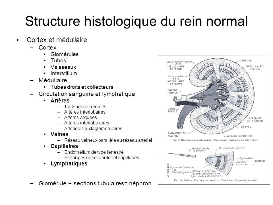 Structure histologique du rein normal