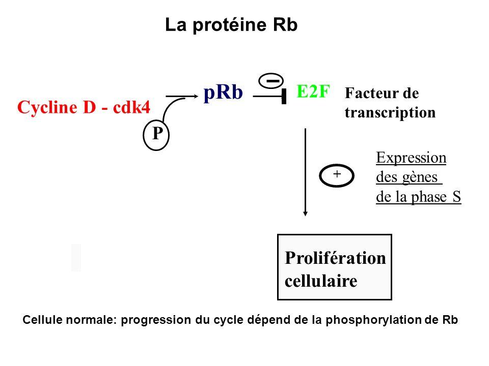 pRb La protéine Rb E2F Cycline D - cdk4 P Prolifération cellulaire